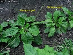 Plantago - patlagina