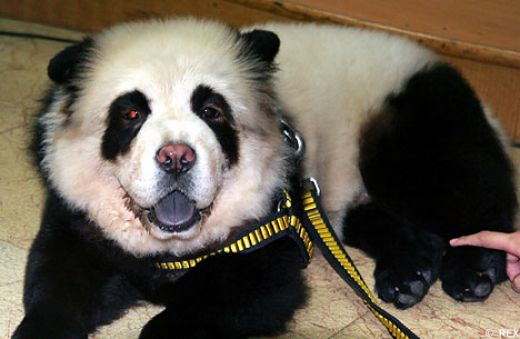 Panda caine