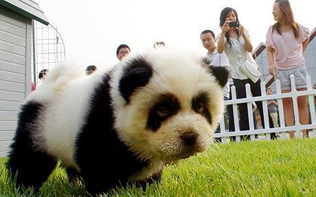 Urs panda caine