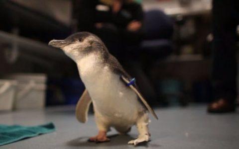 Pinguin cu proteza
