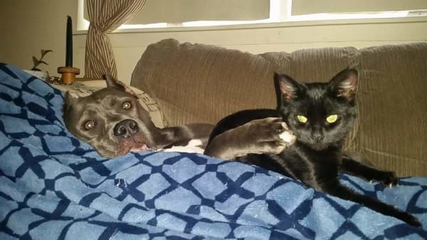 Pitbull cu pisica