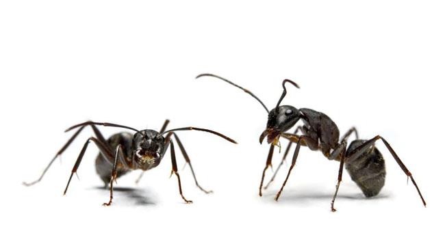 Cum scapi de furnici