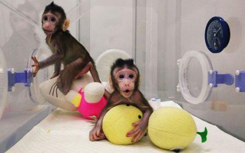 Maimute Clonate China