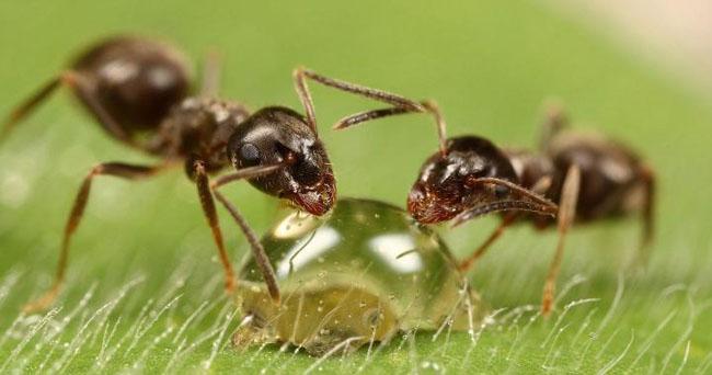 Medicamente din furnici