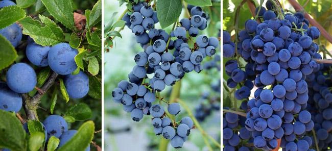 Alimente albastre
