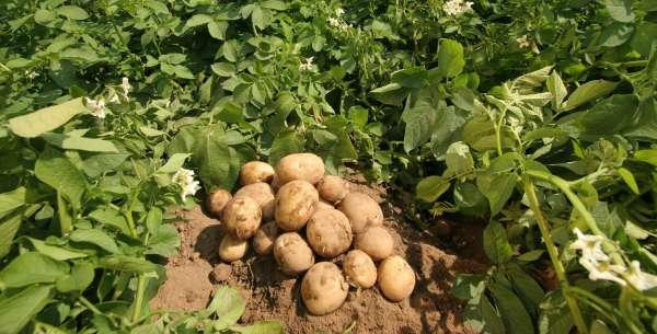 Leacuri băbeşti din cartofi