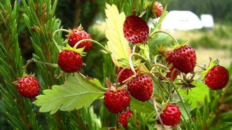 Tratamente cu fragi de pădure