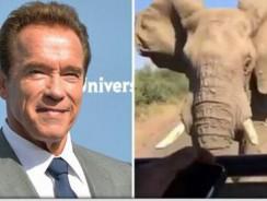 Arnold Schwarzenegger infruntat de un elefant african