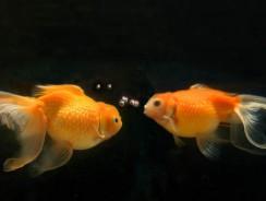 Caracteristici Zodia Peşti