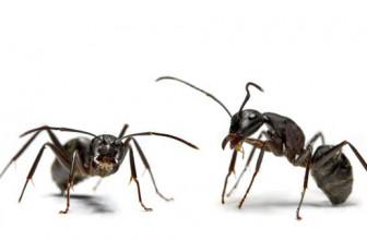 Cum să scapi de furnici