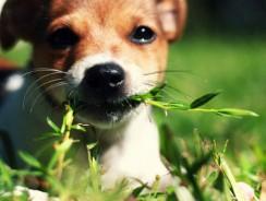 5 motive pentru care cainii manca iarba