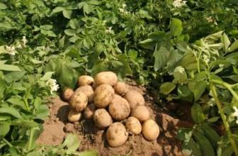Leacuri populare din cartofi