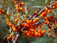 Remedii naturiste din cătină