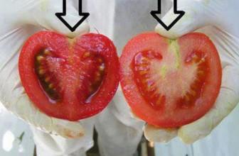 Cum deosebim rosiile crescute cu chimicale