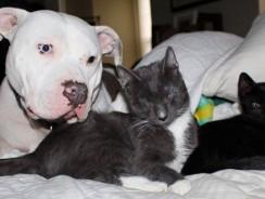 Trei pisici oarbe adoptate de doi pitbulli