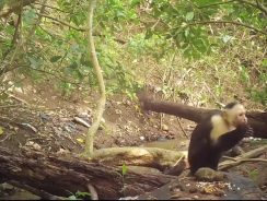 O primată a intrat în Epoca de Piatră. A învăţat să utilizeze unelte speciale pentru a ajunge la hrană – VIDEO