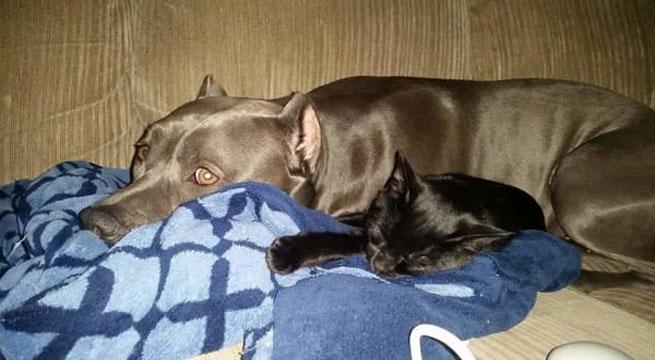 Un pitbull gigant a adoptat un pui de pisica