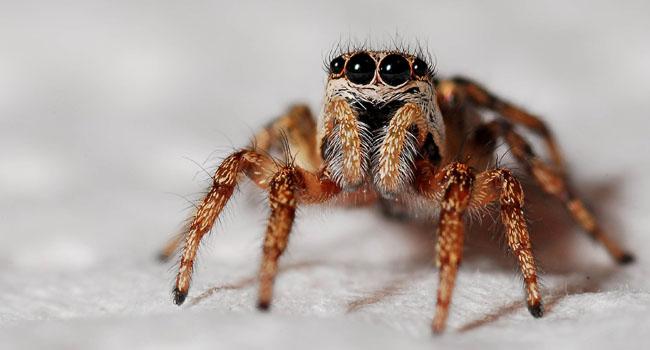 Păianjenii mănâncă mai multă carne decât oamenii