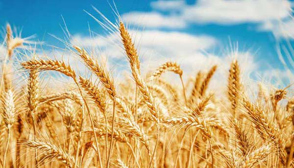 Tratamente naturiste cu grâu